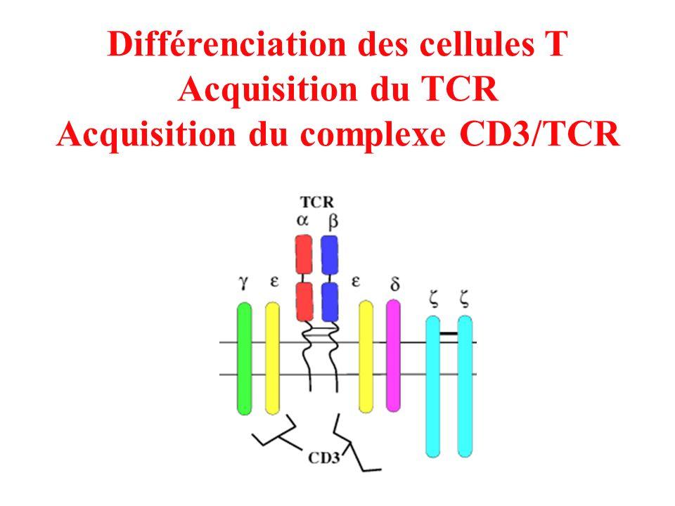 Différenciation des cellules T Acquisition du TCR Acquisition du complexe CD3/TCR