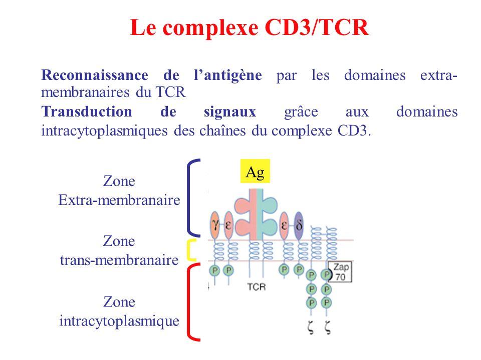Le complexe CD3/TCR Reconnaissance de lantigène par les domaines extra- membranaires du TCR Transduction de signaux grâce aux domaines intracytoplasmi