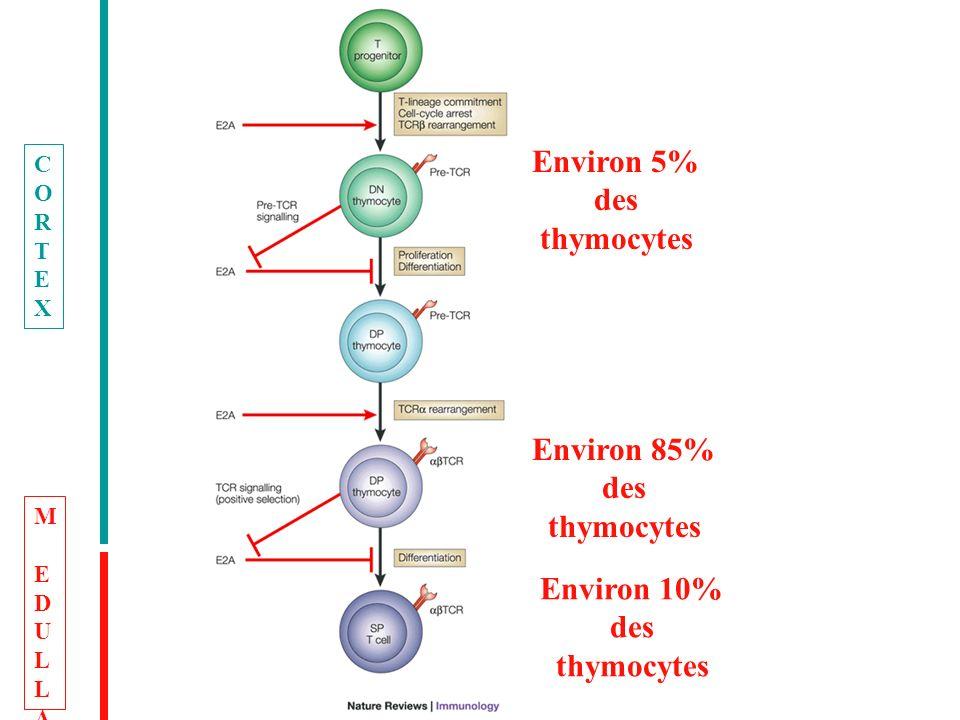 Environ 5% des thymocytes Environ 85% des thymocytes Environ 10% des thymocytes CORTEXCORTEX MEDULLAMEDULLA