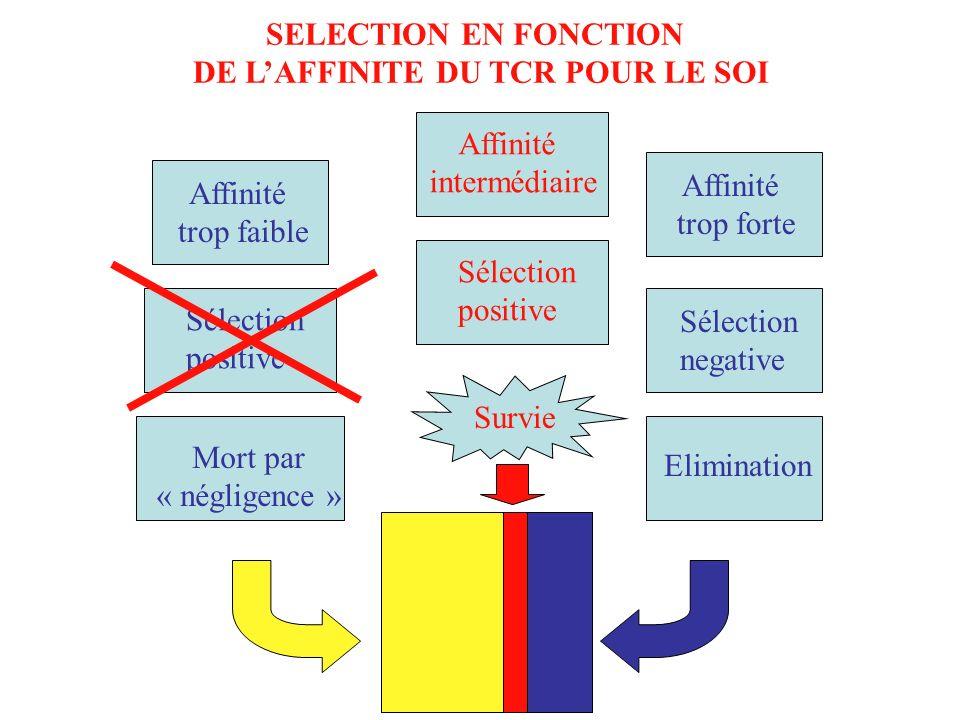 Fréquence des clones SELECTION EN FONCTION DE LAFFINITE DU TCR POUR LE SOI Affinité intermédiaire Affinité trop faible Affinité trop forte Sélection p