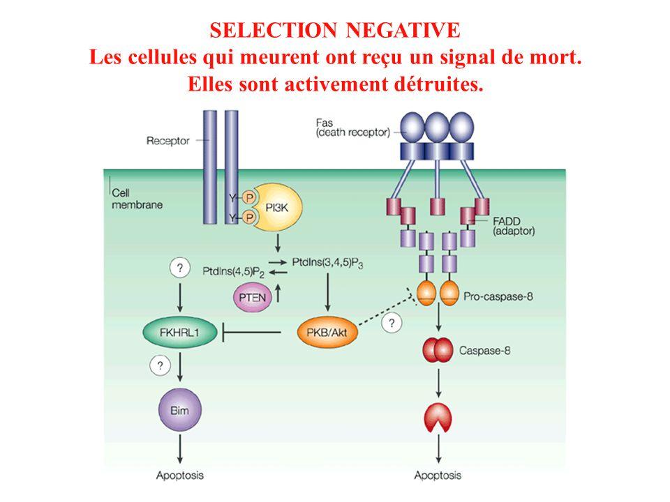 SELECTION NEGATIVE Les cellules qui meurent ont reçu un signal de mort. Elles sont activement détruites.
