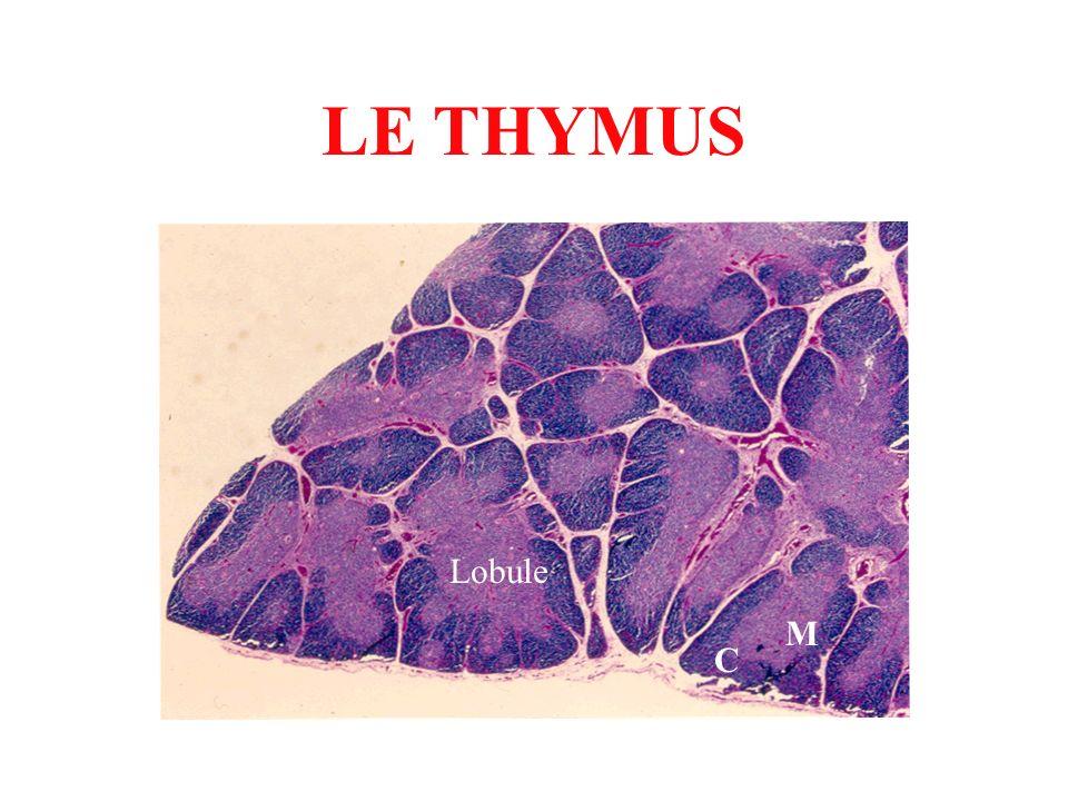 LE THYMUS Lobule C M