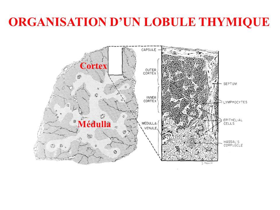 Cortex Médulla ORGANISATION DUN LOBULE THYMIQUE