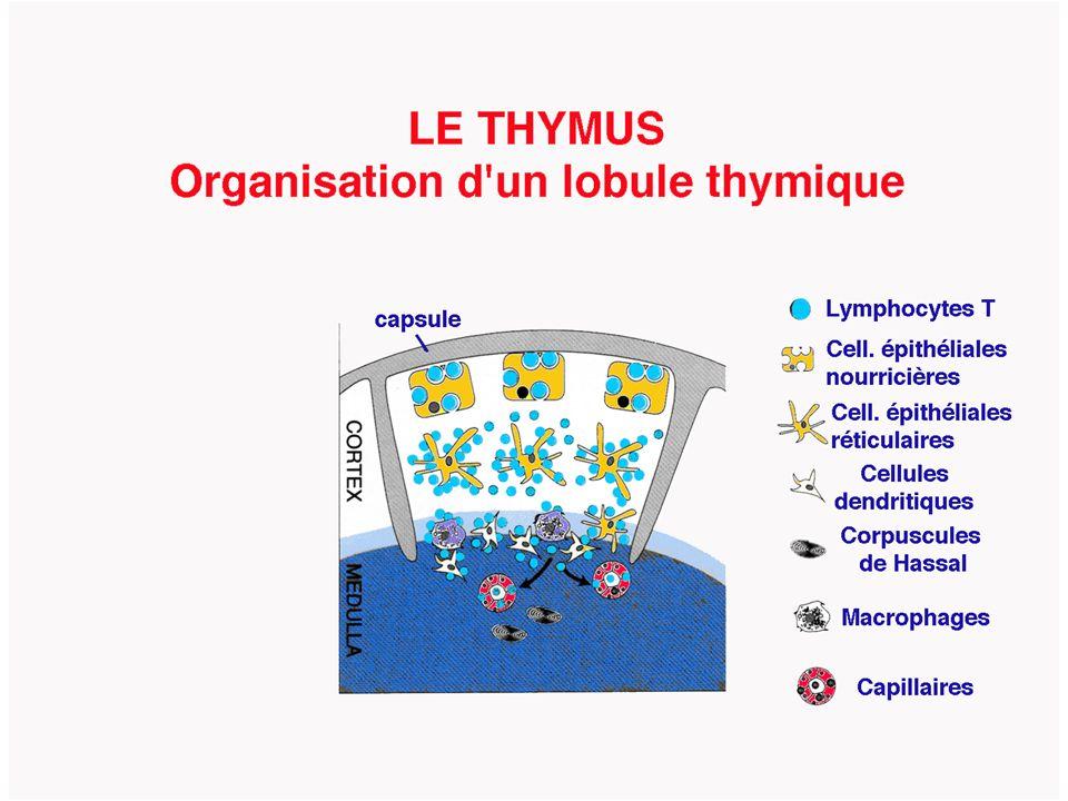 Périphérie cortexmedulla M.0 DN DPSP THYMUS C M