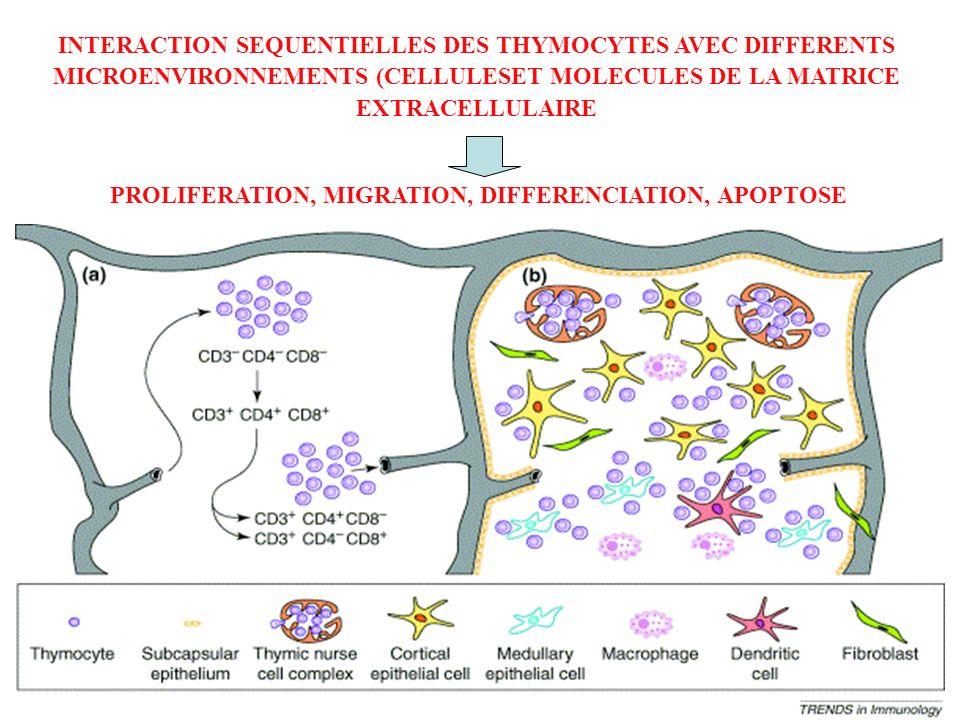 INTERACTION SEQUENTIELLES DES THYMOCYTES AVEC DIFFERENTS MICROENVIRONNEMENTS (CELLULESET MOLECULES DE LA MATRICE EXTRACELLULAIRE PROLIFERATION, MIGRAT