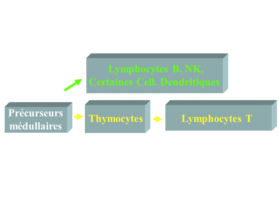 Précurseurs médullaires thymiques CD34+ T B NK dendritiques ID Notch Protéines E