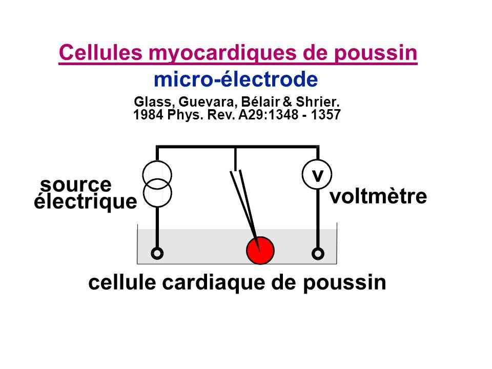 micro-électrode cellule cardiaque de poussin source électrique voltmètre Cellules myocardiques de poussin v Glass, Guevara, Bélair & Shrier. 1984 Phys