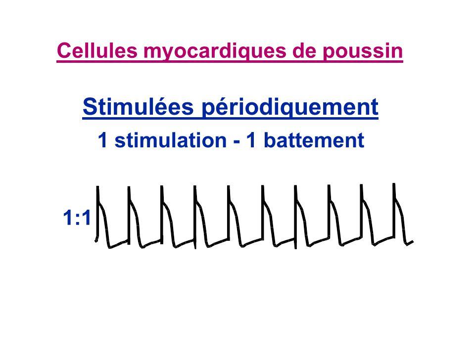 Cellules myocardiques de poussin 1:1 Stimulées périodiquement 1 stimulation - 1 battement