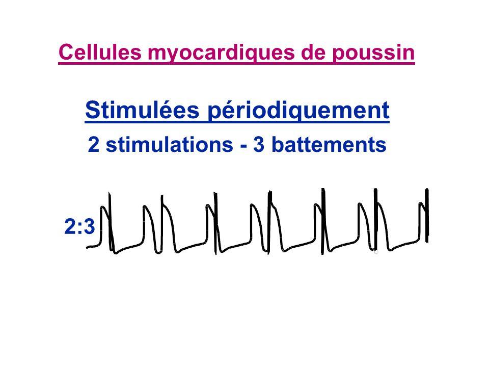 Cellules myocardiques de poussin 2:3 Stimulées périodiquement 2 stimulations - 3 battements