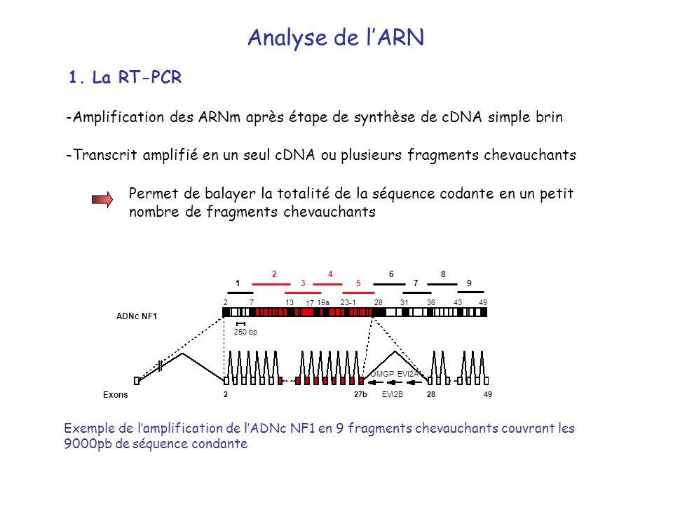 -Amplification des ARNm après étape de synthèse de cDNA simple brin -Transcrit amplifié en un seul cDNA ou plusieurs fragments chevauchants Permet de