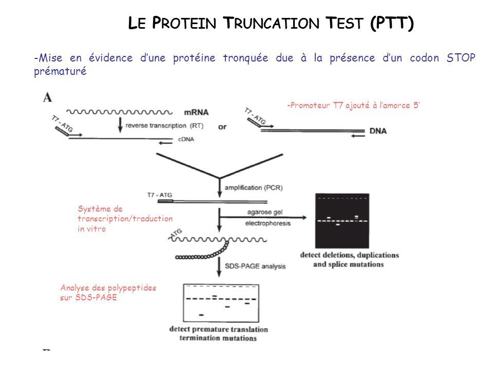 L E P ROTEIN T RUNCATION T EST (PTT) -Mise en évidence dune protéine tronquée due à la présence dun codon STOP prématuré -Promoteur T7 ajouté à lamorc