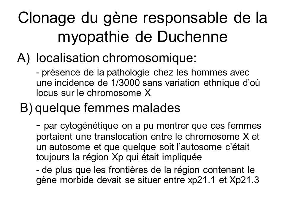 Clonage du gène responsable de la myopathie de Duchenne A)localisation chromosomique: - présence de la pathologie chez les hommes avec une incidence d