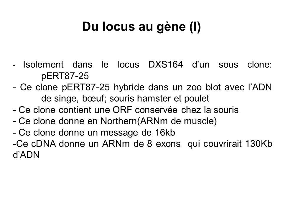 Du locus au gène (I) - Isolement dans le locus DXS164 dun sous clone: pERT87-25 - Ce clone pERT87-25 hybride dans un zoo blot avec lADN de singe, bœuf