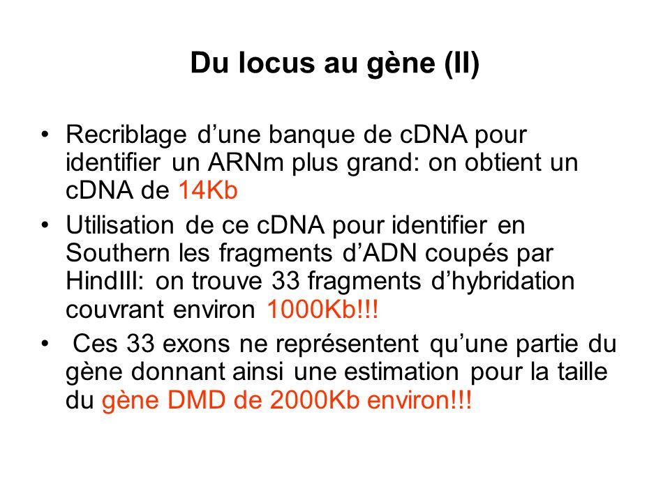 Du locus au gène (II) Recriblage dune banque de cDNA pour identifier un ARNm plus grand: on obtient un cDNA de 14Kb Utilisation de ce cDNA pour identi