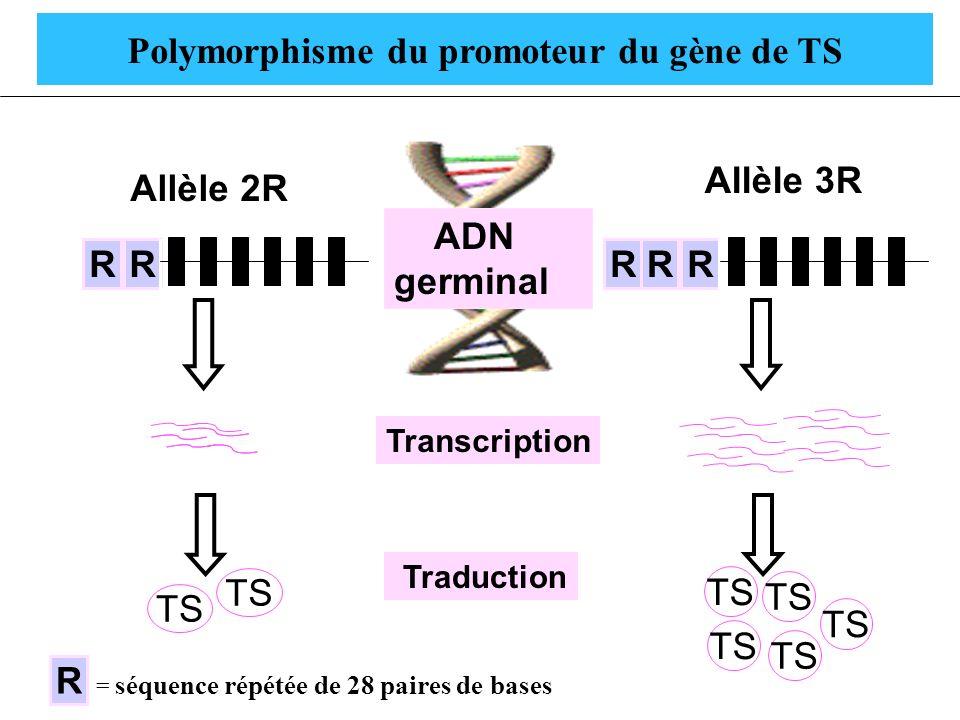 Polymorphisme du promoteur du gène de TS R Gène TS Allèle 2R RRGène TS Allèle 3R RR ADN germinal TS Traduction R = séquence répétée de 28 paires de ba