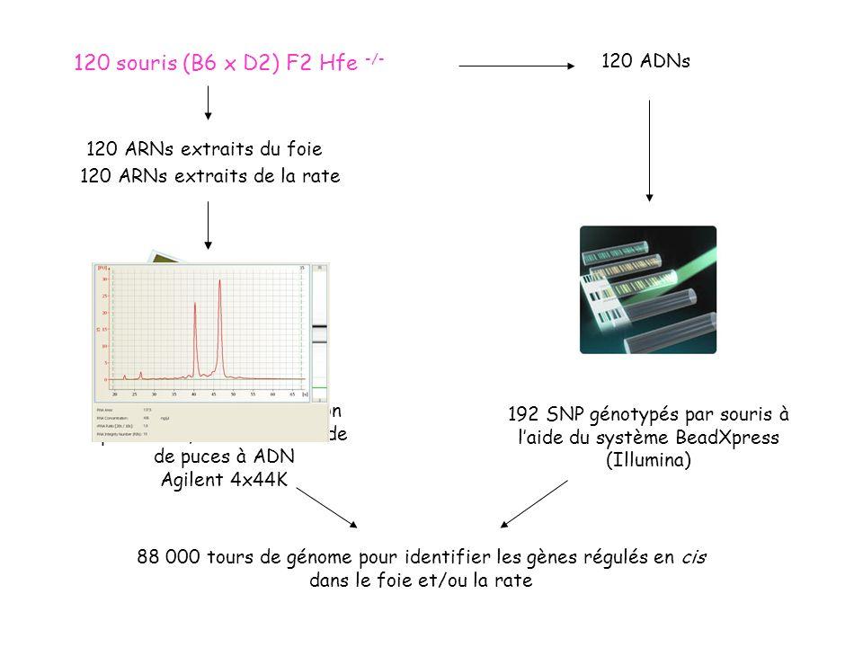 F2 intercross (120 souris F2 Hfe -/- ) Niveaux dexpression génique (44,000 transcrits dans le foie et la rate) Traits quantitatifs cliniques (fer dans le sérum, le foie, la rate…) cQTLeQTL Gènes modificateurs potentiels, à valider Recherche de QTLs Recherche de corrélations Co-localisation génomique Recherche de QTLs
