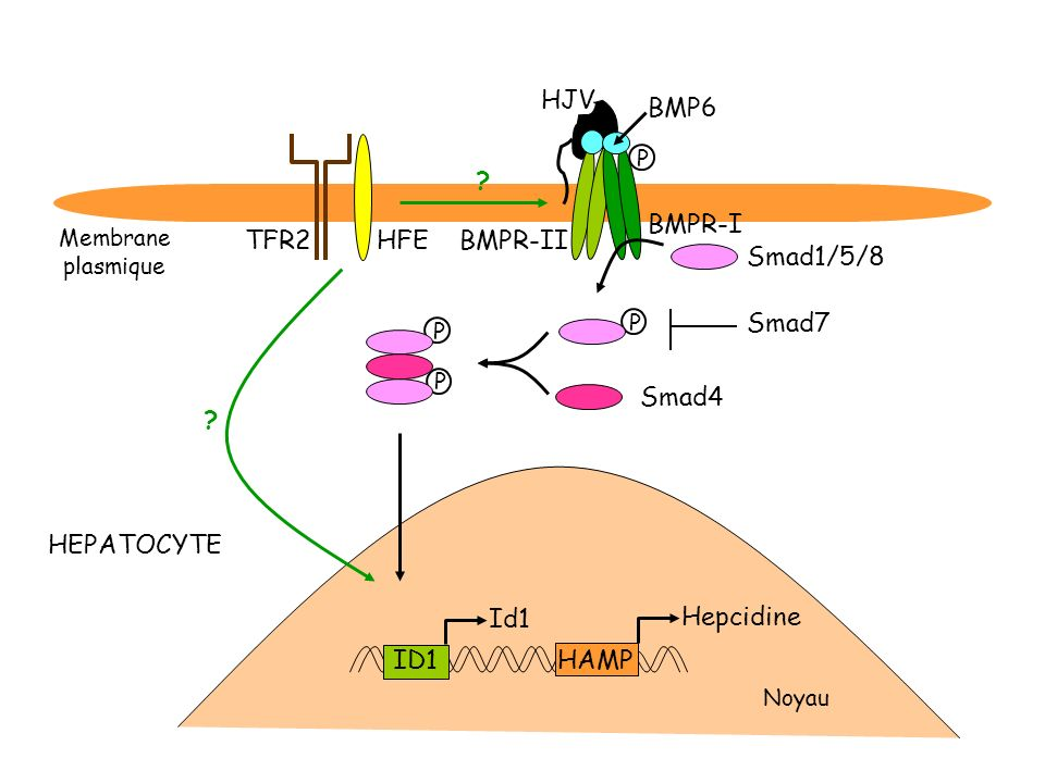 P P TFR2HFE HJV Smad1/5/8 Smad4 HAMP Hepcidine BMPR-II BMPR-I ? ? P P BMP6 HEPATOCYTE Noyau Membrane plasmique Id1 ID1 Smad7
