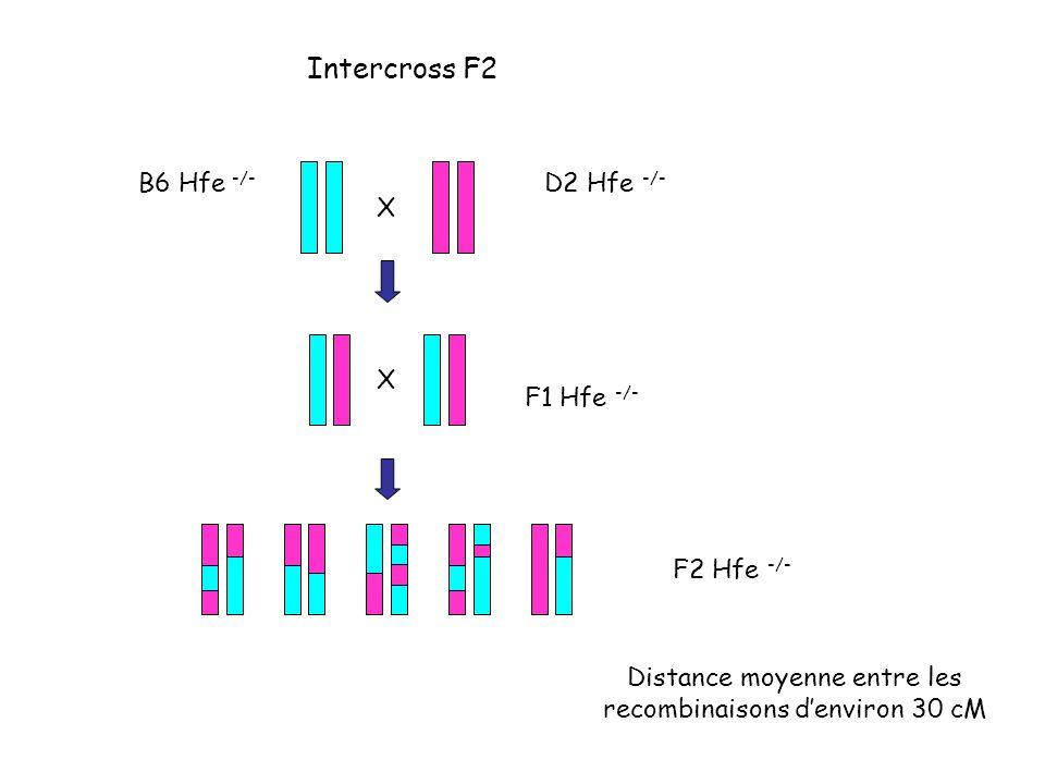 X F1 Hfe -/- F2 Hfe -/- D2 Hfe -/- B6 Hfe -/- Distance moyenne entre les recombinaisons denviron 30 cM Intercross F2 X