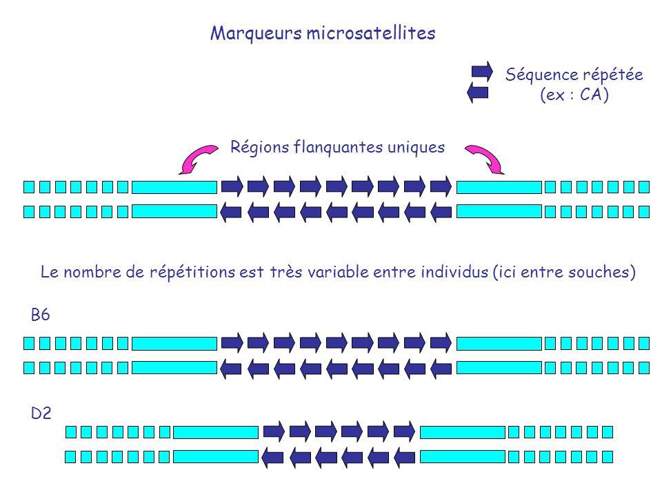 Marqueurs microsatellites Régions flanquantes uniques Séquence répétée (ex : CA) Le nombre de répétitions est très variable entre individus (ici entre