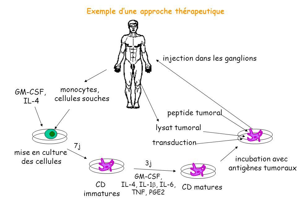 monocytes, cellules souches GM-CSF, IL-4 CD immatures CD matures incubation avec antigènes tumoraux peptide tumoral injection dans les ganglions lysat