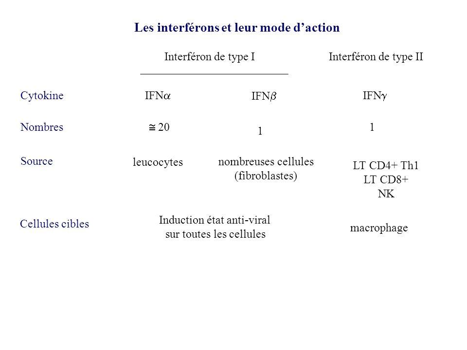 Les interférons de type I et leur mode daction 2 types dinterférons type I: IFN ~ 20 isotypes), IFN (1 isotype, IFN interféron trophoblastique type II: IFN IFN, IFN produits par un grand nombre de cellules gène sous le contrôle dun promoteur inductible.