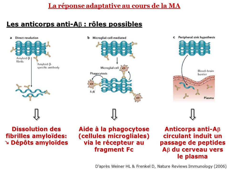 La réponse adaptative au cours de la MA Les anticorps anti-A : rôles possibles Dissolution des fibrilles amyloïdes: Dépôts amyloïdes Dépôts amyloïdes