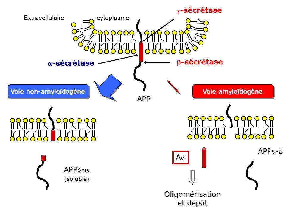 Chronologie de la MA: lhypothèse de la cascade amyloïde Voie amyloïdogène > Voie non amyloïdogène Protéine APP A 40 A 42 Plaque diffuse Dépôts amyloïdes Plaque compacte Fibrilles amyloïdes Dégénérescence neurofibrillaire (pathologie Tau) Microglies activées Astrocytes activés Réaction inflammatoire Rôle essentiel de la réaction inflammatoire qui semble être un mécanisme actif du processus neurodégénératif de la MA