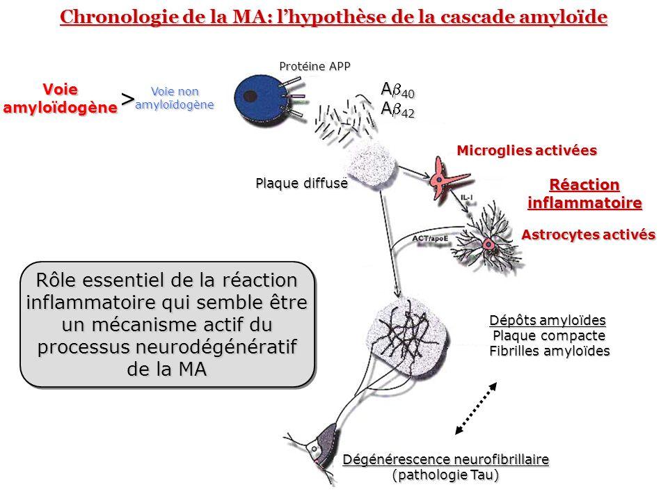 Chronologie de la MA: lhypothèse de la cascade amyloïde Voie amyloïdogène > Voie non amyloïdogène Protéine APP A 40 A 42 Plaque diffuse Dépôts amyloïd