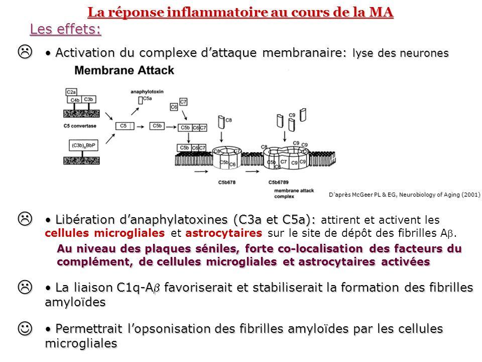 La réponse inflammatoire au cours de la MA Les cellules microgliales « Macrophage » du cerveau (lignée myéloïde) – « Macrophage » du cerveau (lignée myéloïde) – élimination des substances nocives du tissu nerveux Cellules activées dans le cerveau de patient atteint de MA Expression en surface du CMH II, de récepteurs scavenger, de récepteurs de chimiokines (CCR3, CCR5) Synthèse de médiateurs pro-inflammatoires et/ou neurotoxiques Complément Cytokines (IL-1, IL-6, TNF) Chimiokines (CCL2, CCL3) (attraction des astrocytes) Protéases Espèces activées de loxygène NO Activation 1.