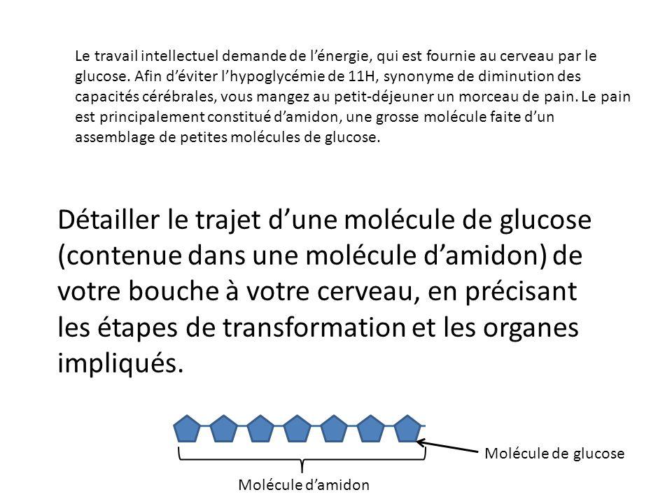 Détailler le trajet dune molécule de glucose (contenue dans une molécule damidon) de votre bouche à votre cerveau, en précisant les étapes de transfor