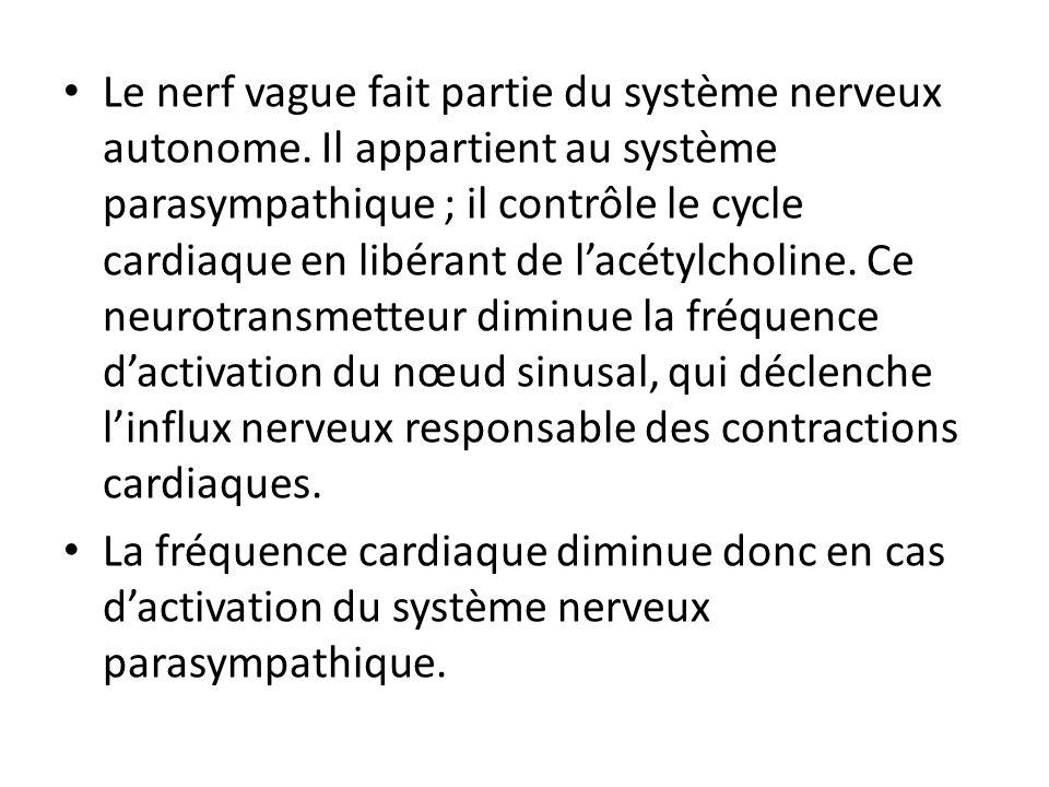 Le nerf vague fait partie du système nerveux autonome. Il appartient au système parasympathique ; il contrôle le cycle cardiaque en libérant de lacéty