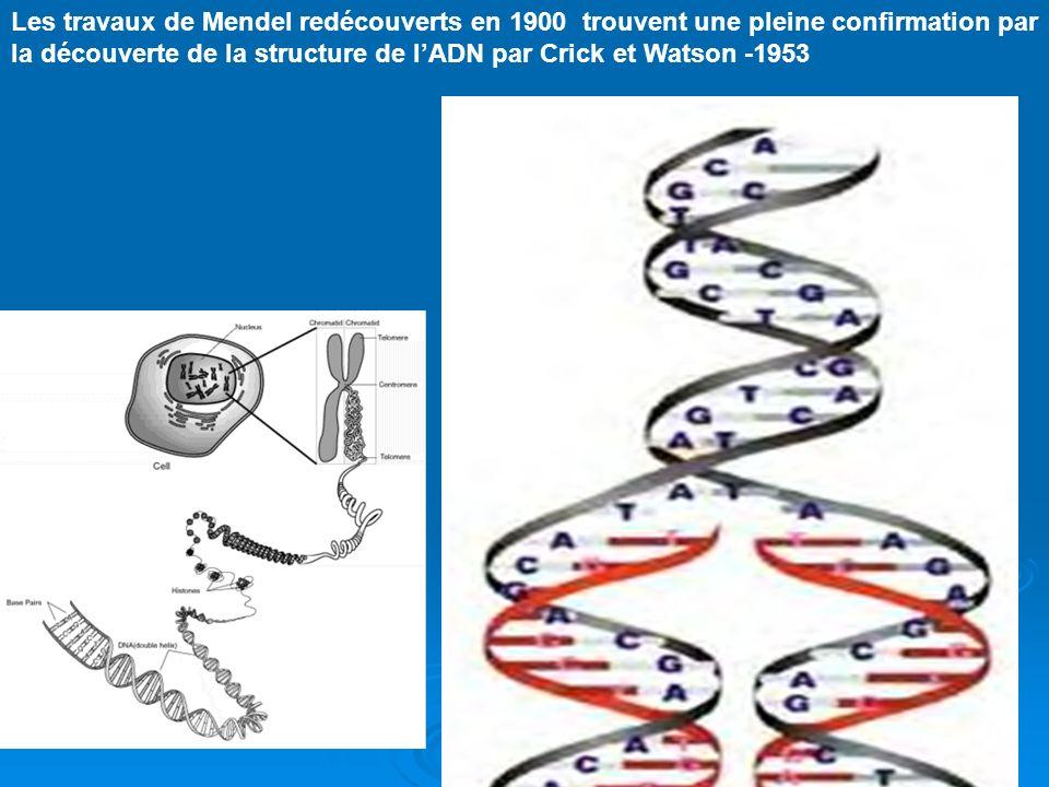 Mendel (1822-1884) : Moine et botaniste tchèque, fondateur de la génétique. Presquau même moment un moine travaillait en Tchéquie
