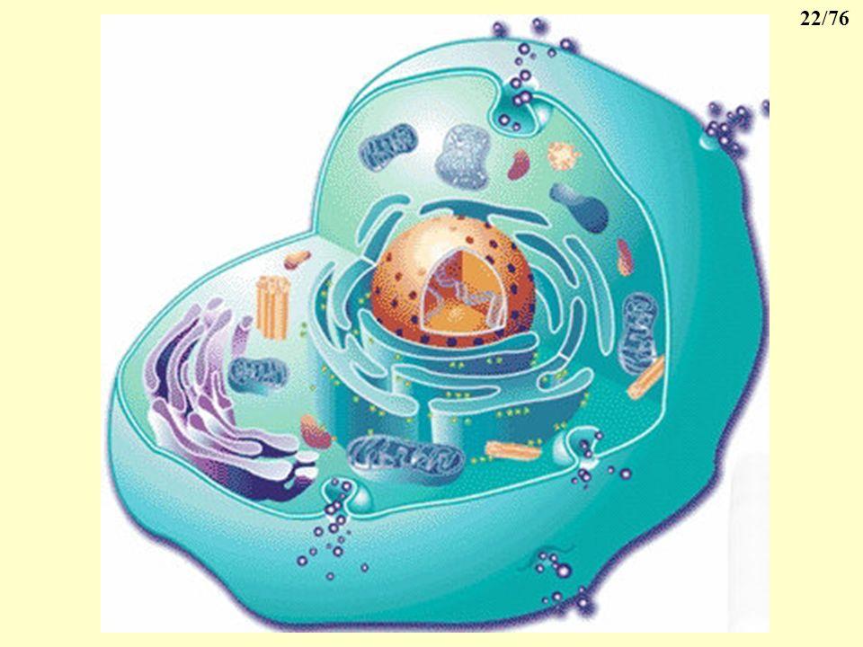 21/76 4- Lappareil de Golgi 5 à 10 sacs en forme de disque synthèse de sucres stockage et de concentration de diverses substances transport en dehors