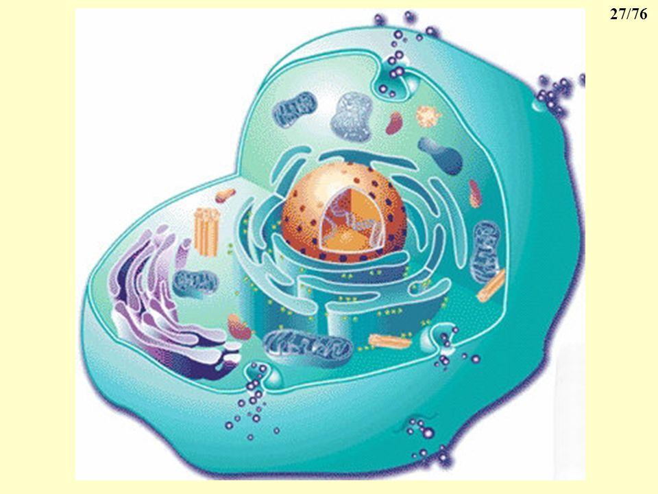 26/76 8- Lergastoplasme En période dactivité sécrétoire intense de la cellule, le réticulum endoplasmique se développe et les ribosomes deviennent trè