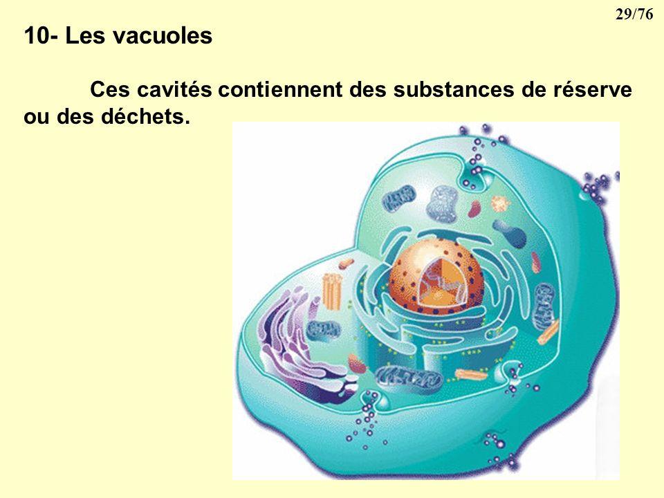 28/76 9- Le centre cellulaire ou centrosome Il est formé de quatre centioles groupés en deux paires. Les centrioles, de forme cylindrique sont formés