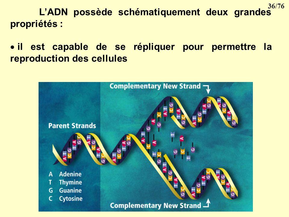 35/76 2- lorsque la cellule va se diviser, les fibres chromatiennes se transforment en chromosomes dont le nombre et laspect sont constants pour une m