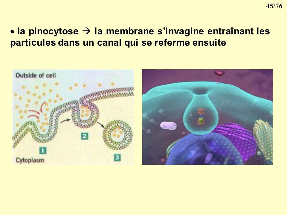 44/76 la phagocytose comme dans le cas des polynucléaires la cellule émet des pseudopodes qui entourent puis incluent la particule dans le cytoplasme