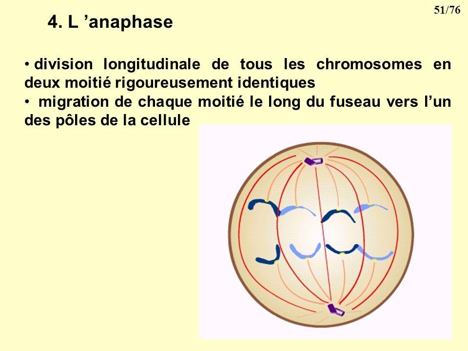 50/76 3- la métaphase Les chromosomes sunissent aux petits tubules du fuseau et se disposent sur léquateur de ce fuseau.