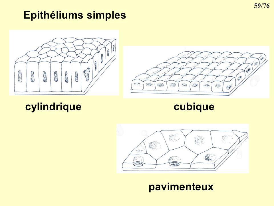 58/76 2- Les quatre variétés de tissus 2-1- Les épithéliums On distingue les épithéliums de revêtement et les épithéliums glandulaires. Les épithélium