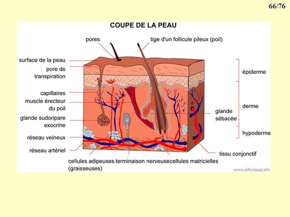 65/76 Epithélium pavimenteux stratifié kératinisé Ex: peau Epiderme Couche cornée