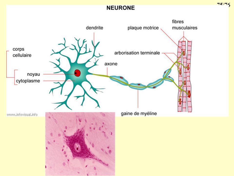 74/76 2- 4- Le tissu nerveux Le tissu nerveux comprend essentiellement 4 catégories cellulaires : 1 - les neurones : leur corps cellulaire est localis