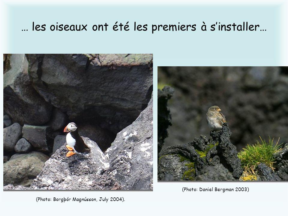 … les oiseaux ont été les premiers à sinstaller… (Photo: Borgþór Magnússon, July 2004). (Photo: Daniel Bergman 2003)