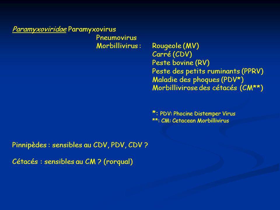 Caractéristiques communes - Virus ARN(-), de 100 à 300 nm - Formation de syncytia et corps d inclusion intranucléaires et intracytoplasmiques, affinité pour cellules épithéliales et reticulo- endothéliales Enveloppe lipidique contenant H et F Rôle: fixation au récepteur cell.