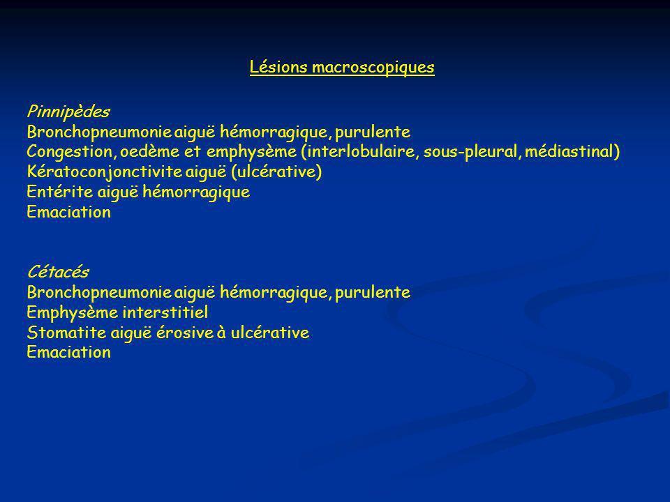 Lésions macroscopiques Pinnipèdes Bronchopneumonie aiguë hémorragique, purulente Congestion, oedème et emphysème (interlobulaire, sous-pleural, médiastinal) Kératoconjonctivite aiguë (ulcérative) Entérite aiguë hémorragique Emaciation Cétacés Bronchopneumonie aiguë hémorragique, purulente Emphysème interstitiel Stomatite aiguë érosive à ulcérative Emaciation