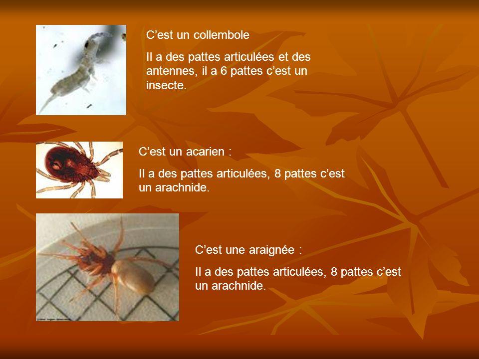 Cest un collembole Il a des pattes articulées et des antennes, il a 6 pattes cest un insecte. Cest un acarien : Il a des pattes articulées, 8 pattes c