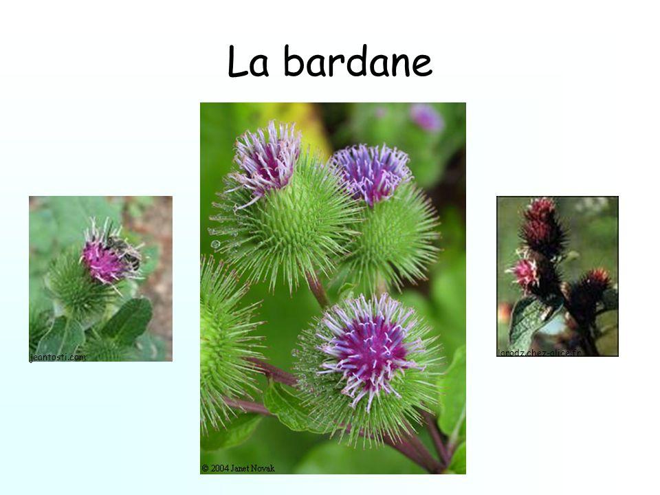 La bardane jeantosti.com larodz.chez-alice.fr