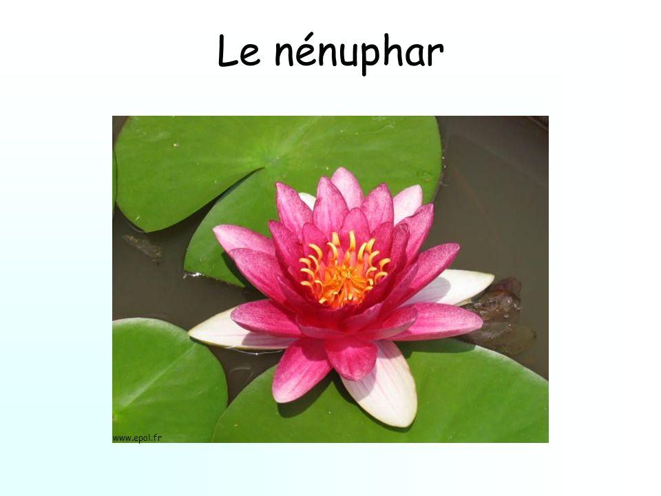 Le nénuphar www.epal.fr
