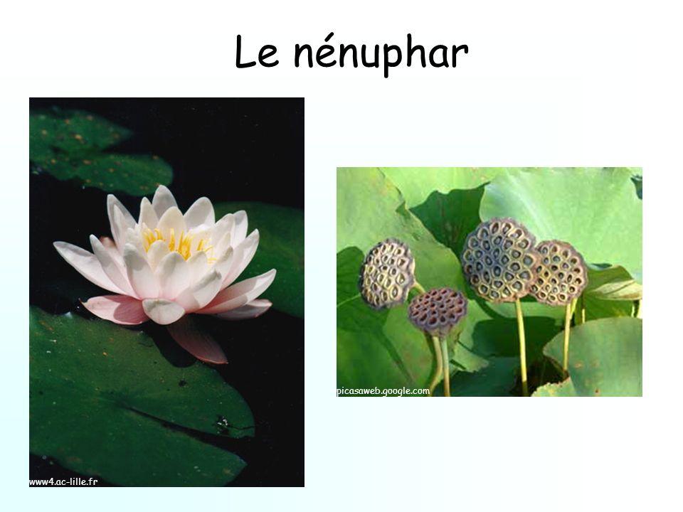 Le nénuphar www4.ac-lille.fr picasaweb.google.com
