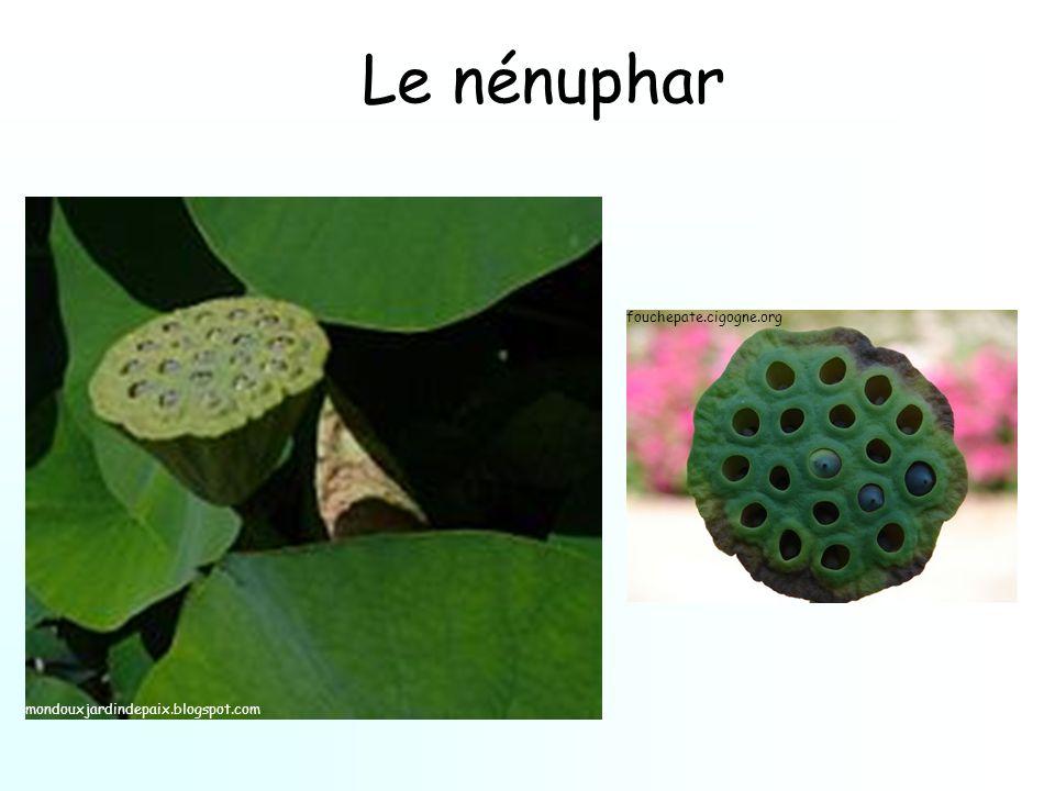 Le nénuphar fouchepate.cigogne.org mondouxjardindepaix.blogspot.com