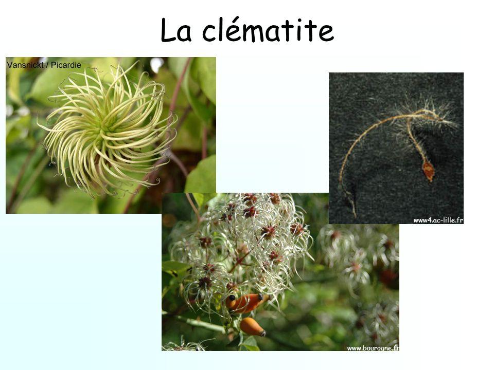 La clématite www.bourogne.fr www4.ac-lille.fr